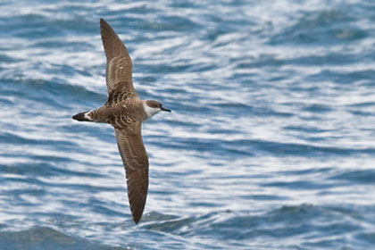 Greater Shearwater Photo