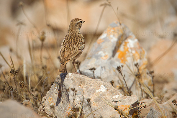 Greater Short-toed Lark Photo @ Kiwifoto.com