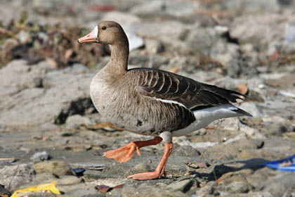 Greater White-fronted Goose Picture @ Kiwifoto.com