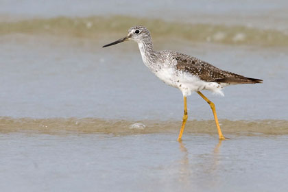 Greater Yellowlegs Photo @ Kiwifoto.com
