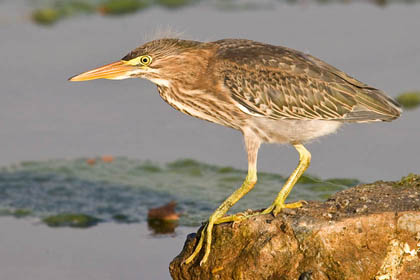 Green Heron Photo @ Kiwifoto.com