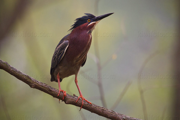 Green Heron Picture