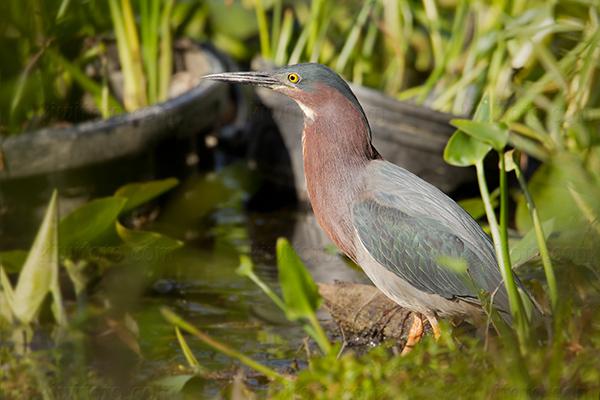 Green Heron @ Holden Arboretum, Kirtland, OH