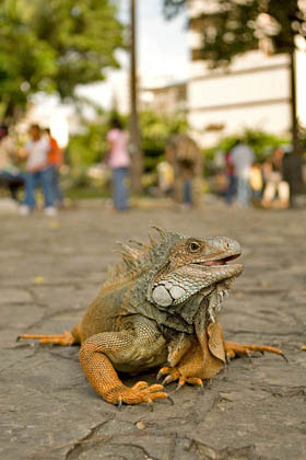Green Iguana Photo @ Kiwifoto.com