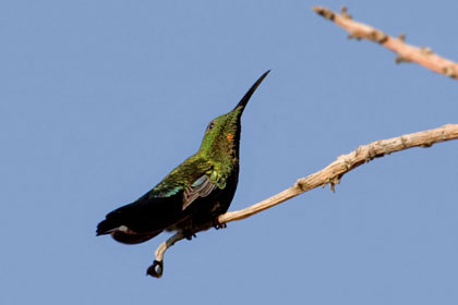 Green-throated Carib Picture @ Kiwifoto.com