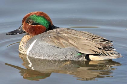 Green-winged Teal Picture @ Kiwifoto.com