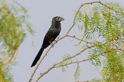 Groove-billed Ani Image