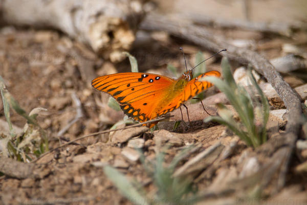 Gulf Fritillary Photo @ Kiwifoto.com