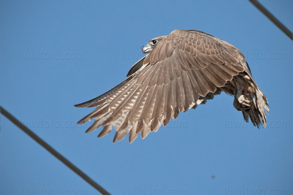 Gyrfalcon Photo @ Kiwifoto.com