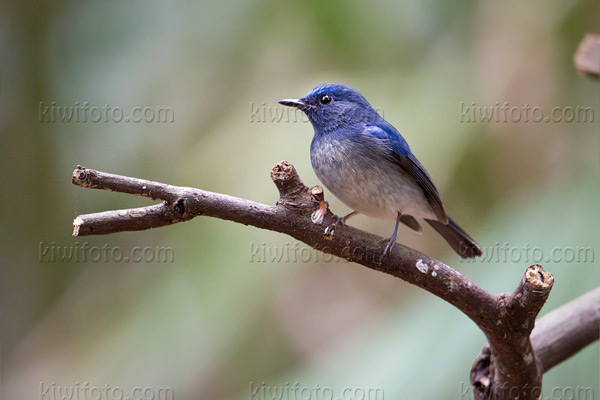 Hainan Blue-Flycatcher