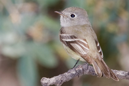 Hammond's Flycatcher Photo @ Kiwifoto.com
