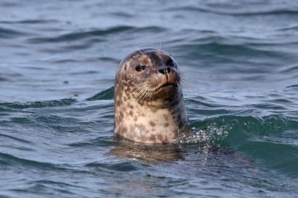 Harbor Seal Picture @ Kiwifoto.com
