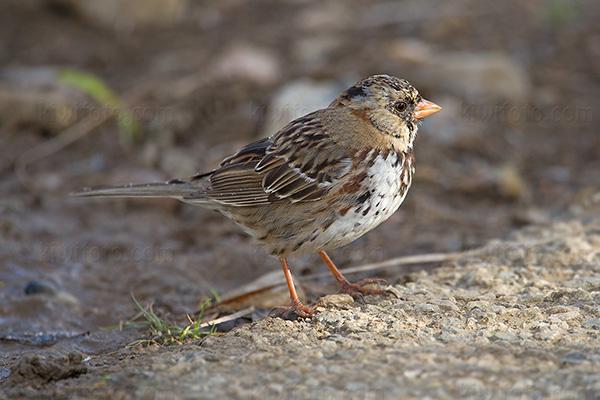 Harris's Sparrow @ San Pedro (White Point Nature Preserve), CA