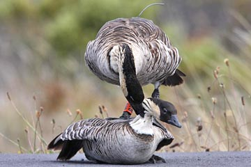Hawai'ian Goose Photo @ Kiwifoto.com