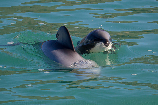Hector's  Dolphin Picture @ Kiwifoto.com