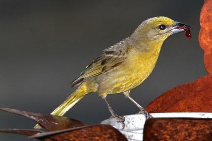 Hepatic Tanager Picture @ Kiwifoto.com