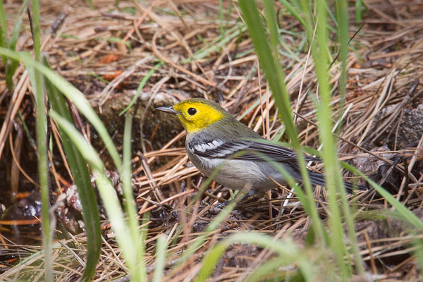 Hermit Warbler Photo @ Kiwifoto.com