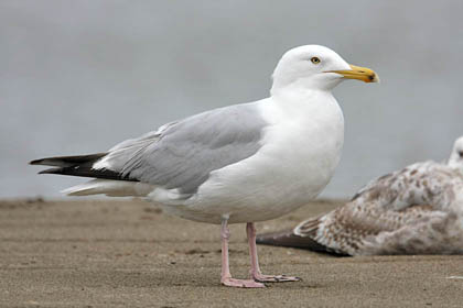 Herring Gull Photo @ Kiwifoto.com