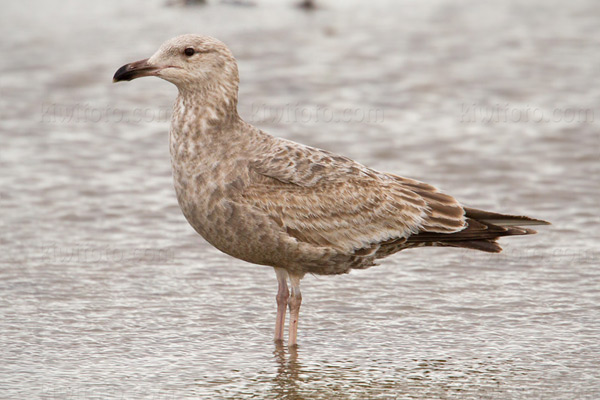 Herring Gull @ Sandy Hook, NJ