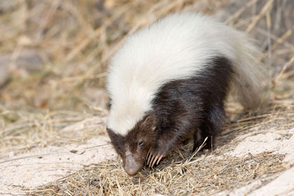 Hog-nosed Skunk Picture @ Kiwifoto.com