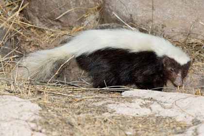 Hog-nosed Skunk Photo @ Kiwifoto.com