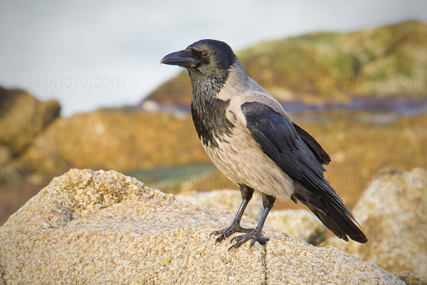 Hooded Crow Image @ Kiwifoto.com