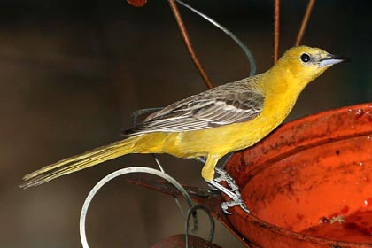 Hooded Oriole (Female)