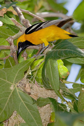 Hooded Oriole (male attending nest)