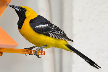 Hooded Oriole Photo @ Kiwifoto.com