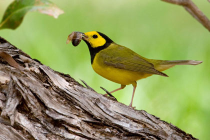 Hooded Warbler Picture @ Kiwifoto.com