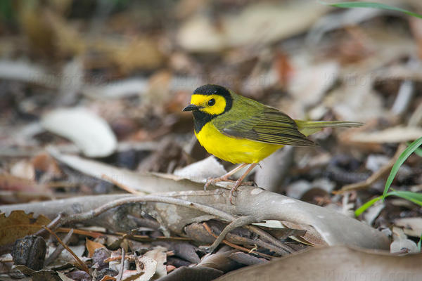 Hooded Warbler @ Manhattan Beach (Sand Dune Park), CA