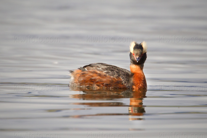 Horned Grebe Photo @ Kiwifoto.com