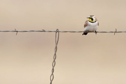 Horned Lark Picture @ Kiwifoto.com