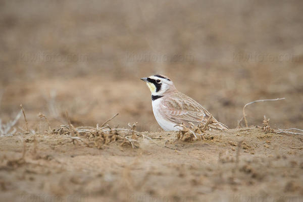 Horned Lark Photo @ Kiwifoto.com