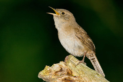 House Wren Photo @ Kiwifoto.com