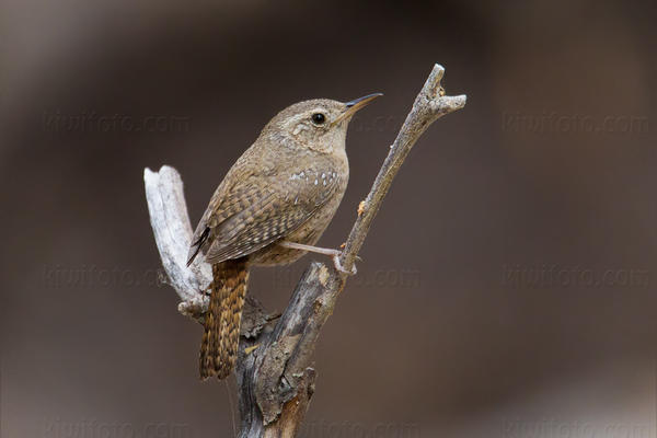 House Wren (Brown-throated Wren)