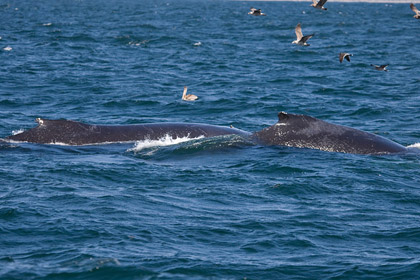 Humpback Whale Photo @ Kiwifoto.com
