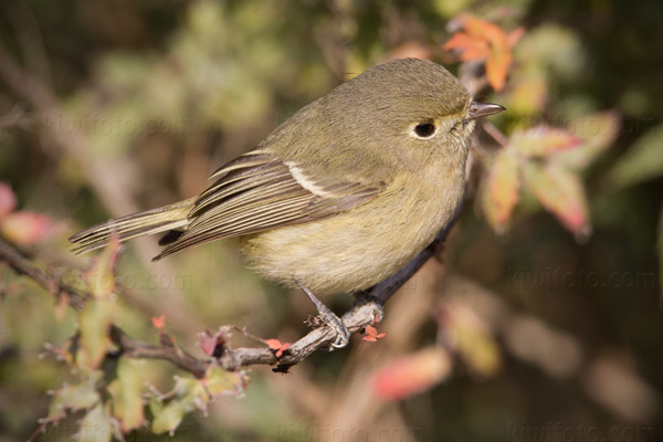 Hutton's Vireo Photo @ Kiwifoto.com
