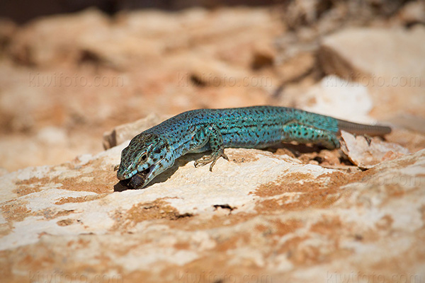 Ibiza Wall Lizard Photo @ Kiwifoto.com
