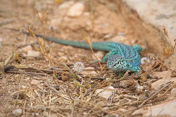 Ibiza Wall Lizard @
