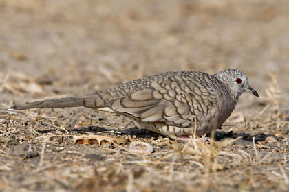 Inca Dove Picture