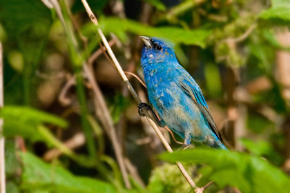 Indigo Bunting Photo @ Kiwifoto.com