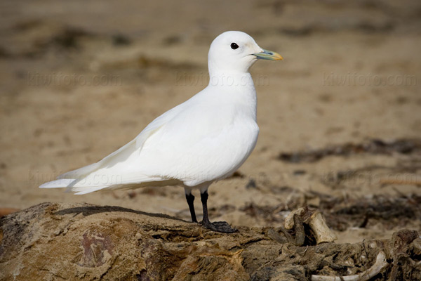 Ivory Gull Photo @ Kiwifoto.com