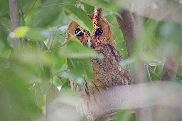 Jamaican Owl @ Rocklands Bird Sanctuary, Montego Bay, Jamaica