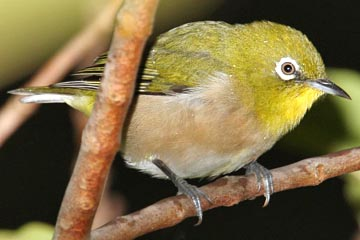 Japanese White-eye Image