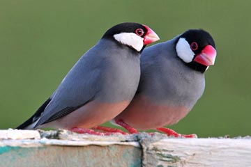 Java Sparrow Picture