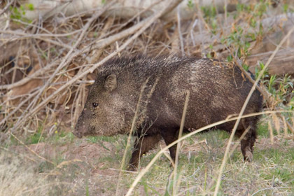 Javelina Photo @ Kiwifoto.com