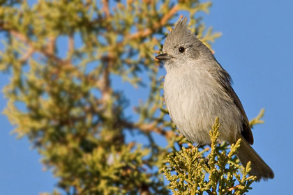 Juniper Titmouse Image