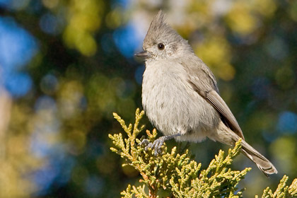 Juniper Titmouse Picture