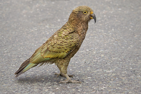 Kea Photo @ Kiwifoto.com